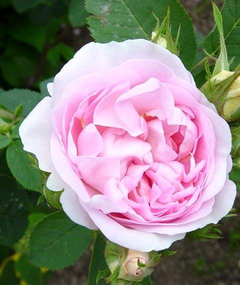 Rosa Alba Incarnata