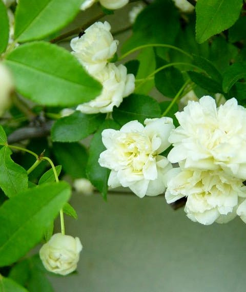 Rosa Banksiae Alba Plena