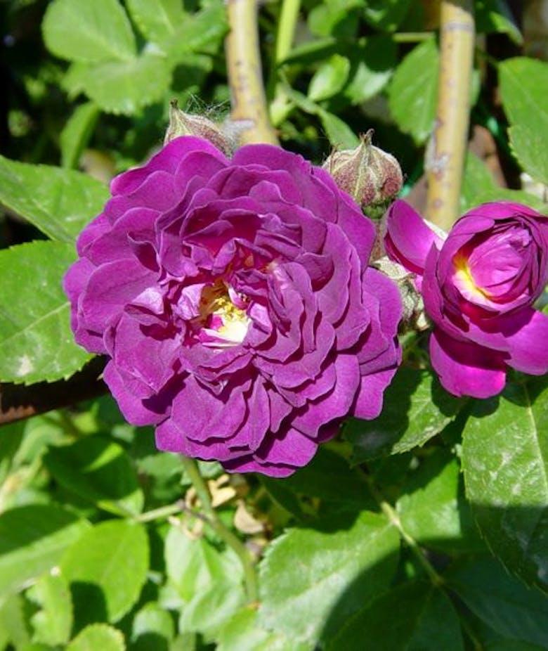 Rosa Blue Magenta