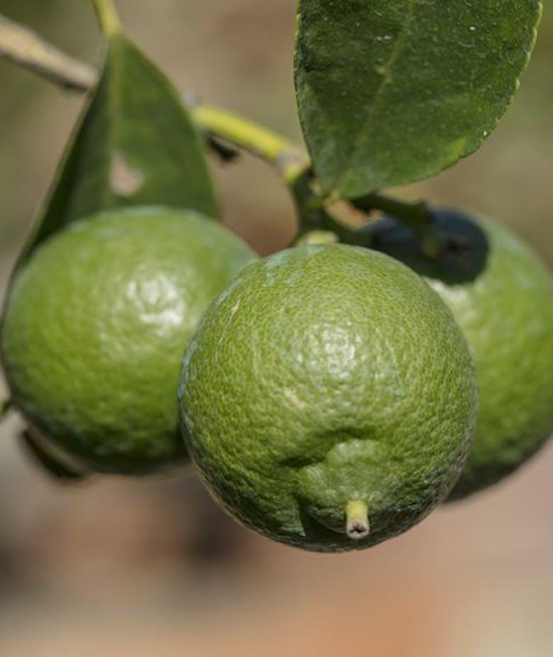 Citrus Aurantifolia Neapolitanum
