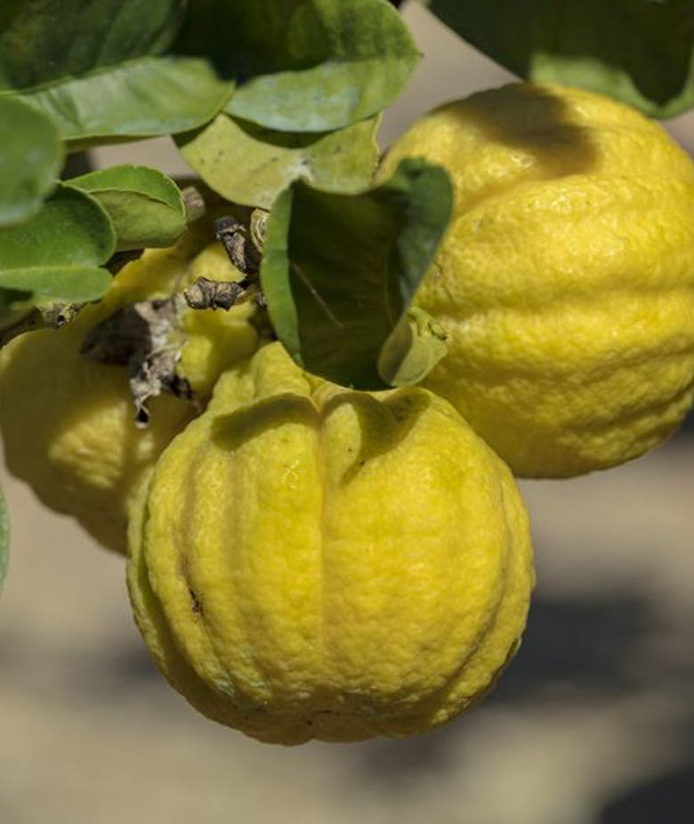 Citrus Limon Mellarosa