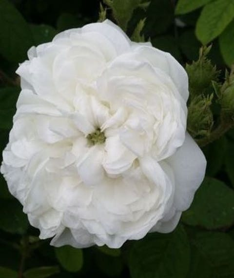 Rosa Damascena Madame Hardy