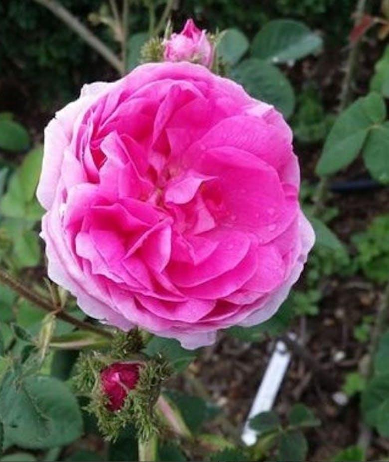 Rosa Centifolia Muscosa Cristata