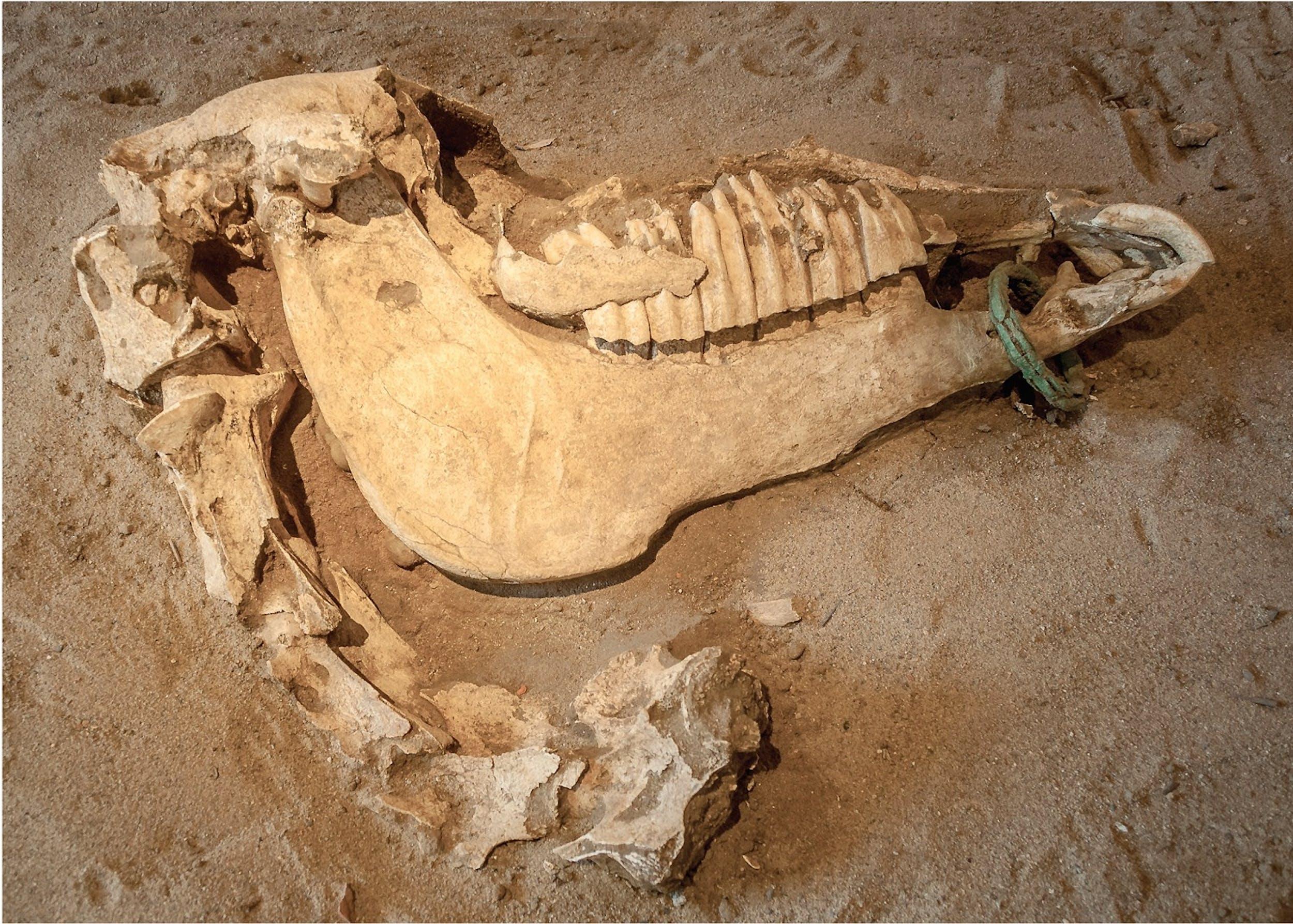 Cranio di cavallo con morso in bronzo, 480 a.C. c.