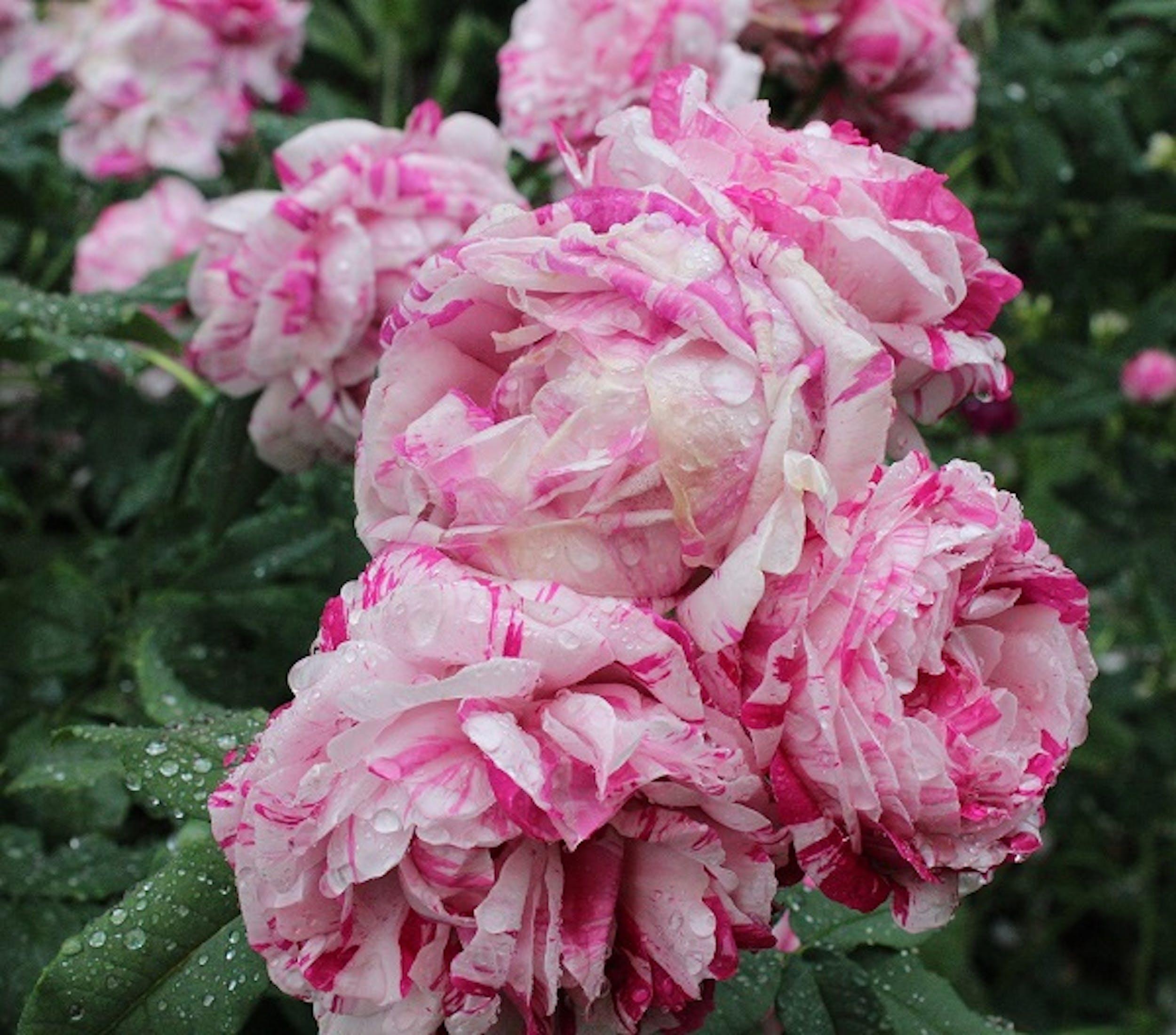 Rosa variegata di Bologna