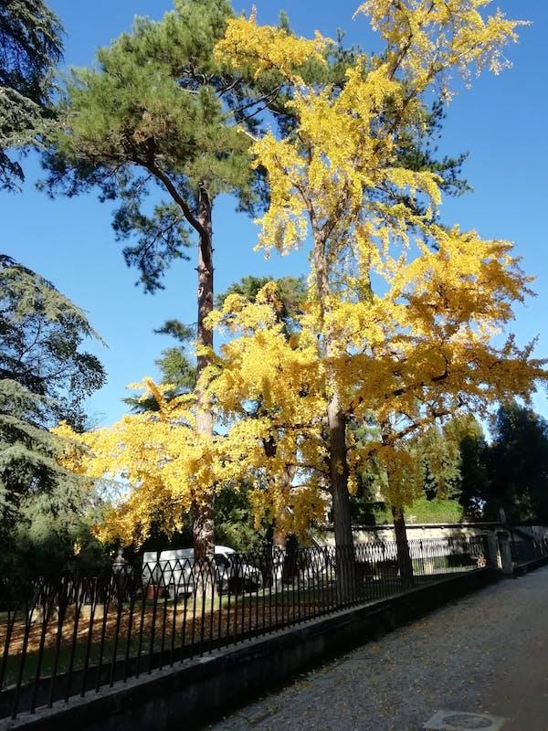 Ginkgo Biloba in autunno