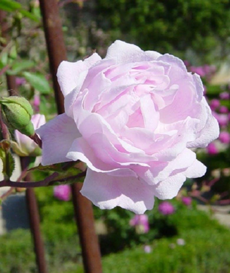 Rosa Débutante