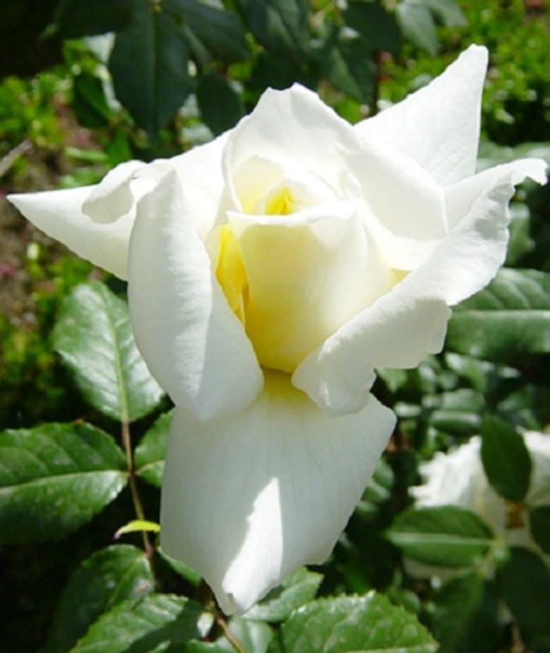 Rosa Fiocco Bianco