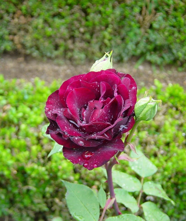 Rosa Louis XIV