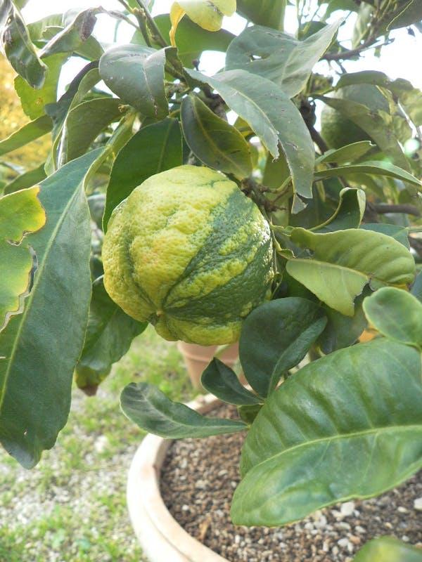Limone della varietà Bizzarria