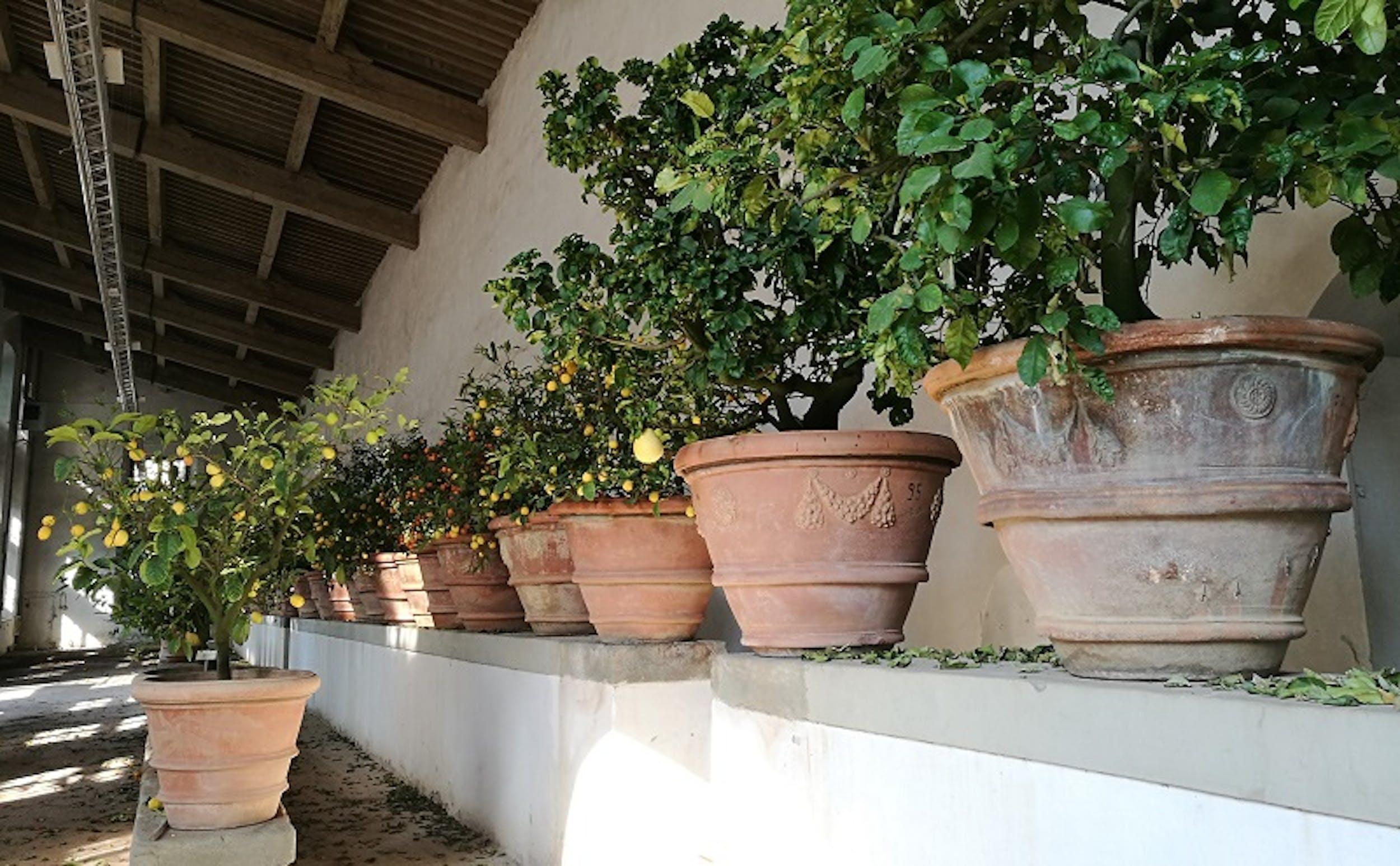 Piante di agrumi nella Limonaia di Boboli