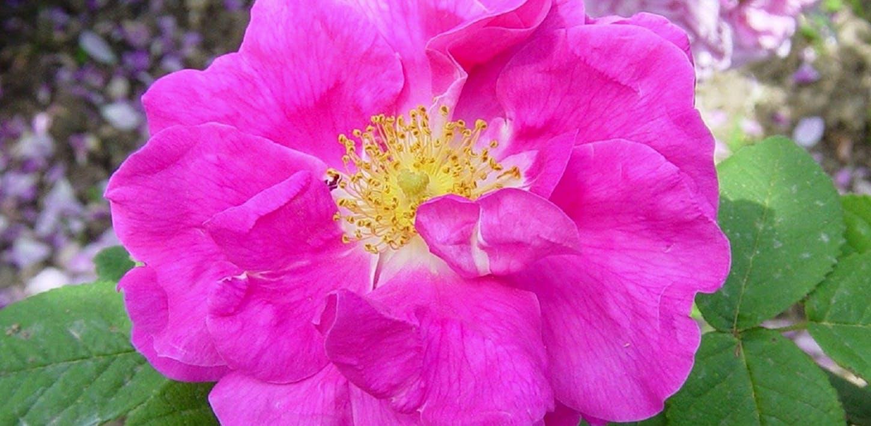 Rose antiche e moderne del Giardino di Boboli