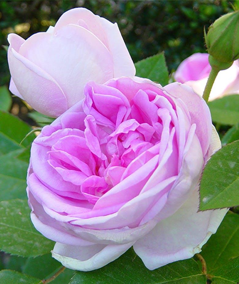 Rosa Blarii n°2